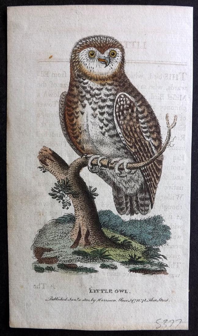 After George Edwards 1800 HC Bird Print. Little Owl