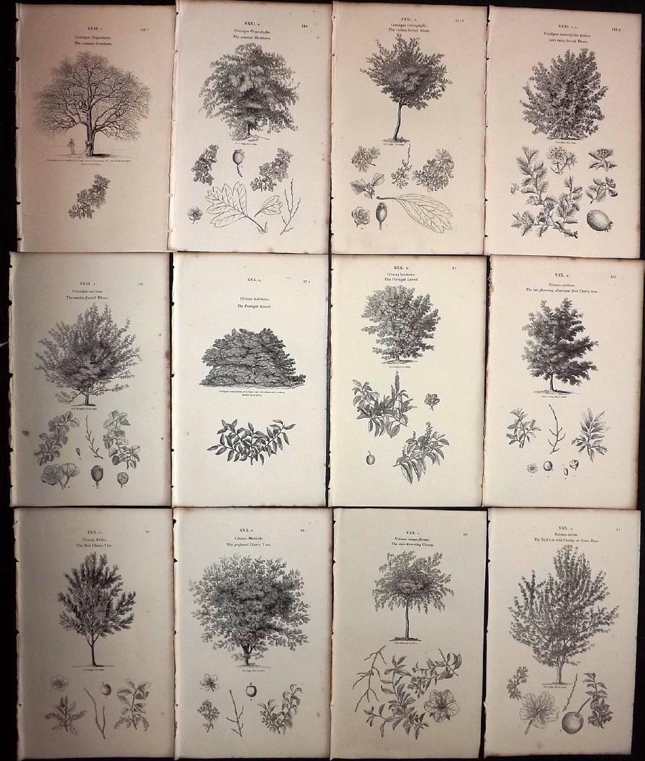 Loudon, John 1844 Lot of 12 Botanical Tree Prints