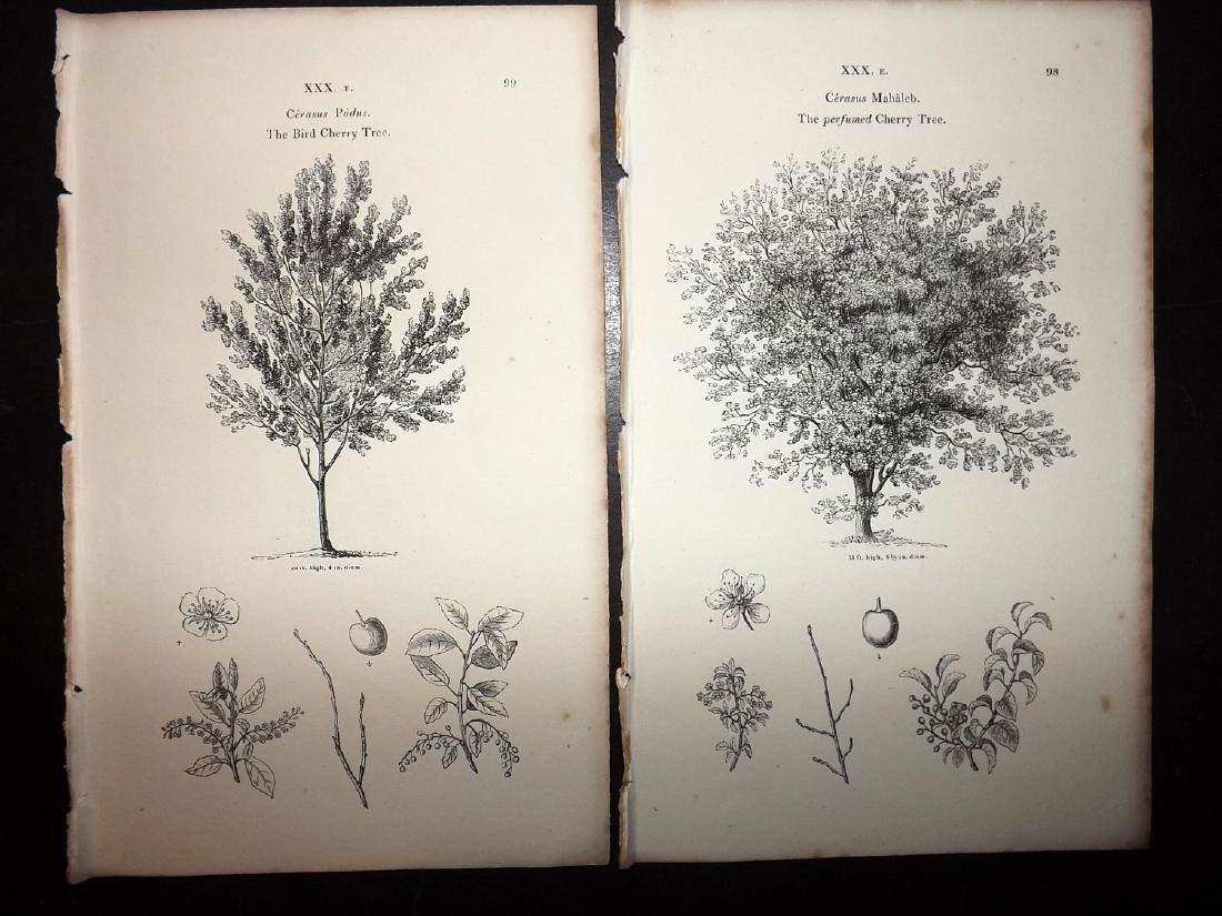 Loudon, John 1844 Lot of 12 Botanical Tree Prints - 2
