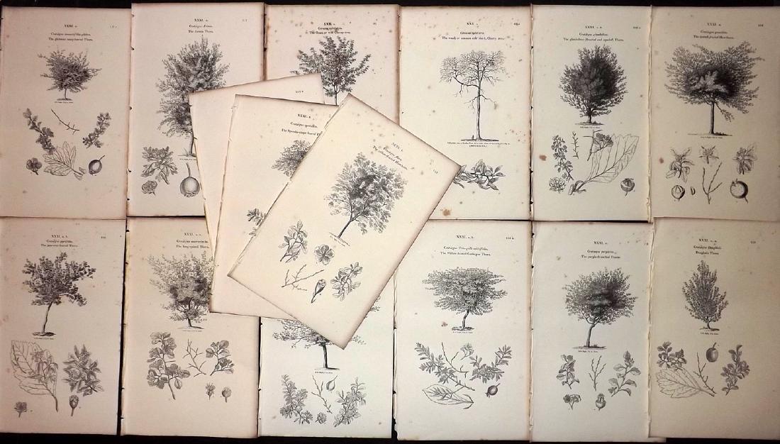 Loudon, John 1844 Lot of 15 Botanical Tree Prints