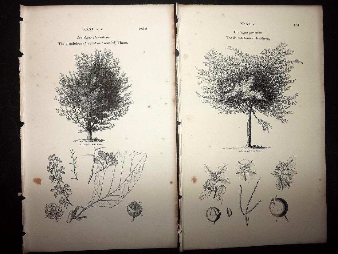 Loudon, John 1844 Lot of 15 Botanical Tree Prints - 2