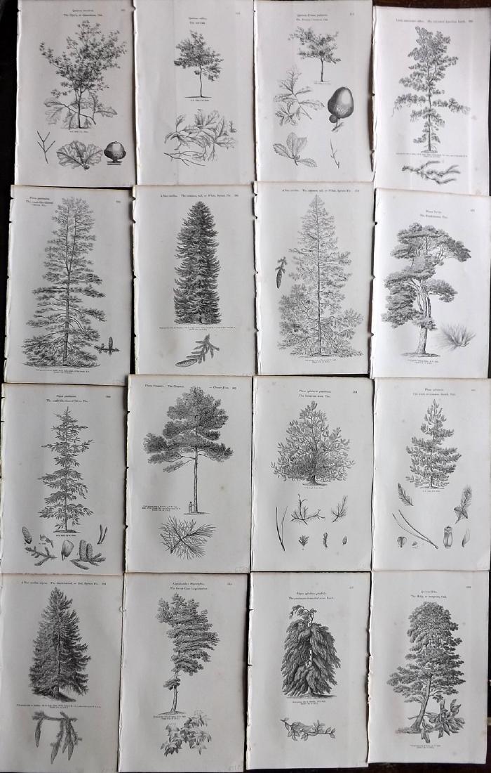 Loudon, John 1844 Lot of 16 Botanical Tree Prints
