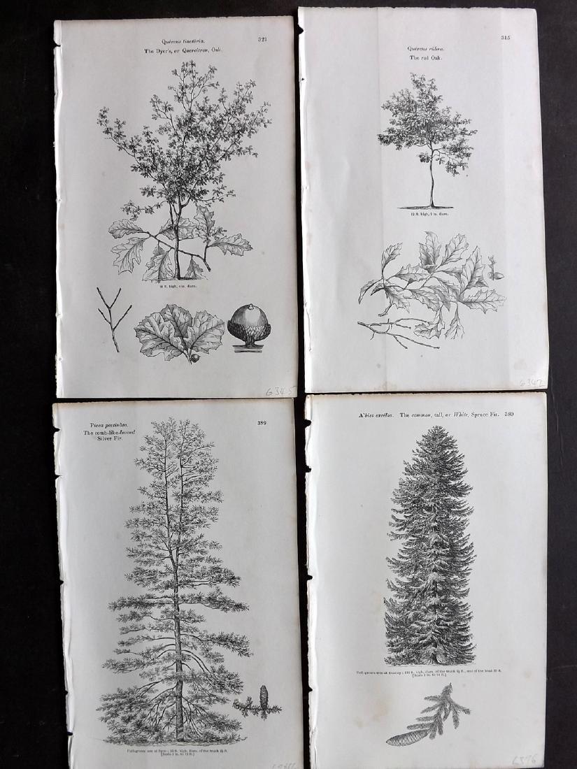 Loudon, John 1844 Lot of 16 Botanical Tree Prints - 2