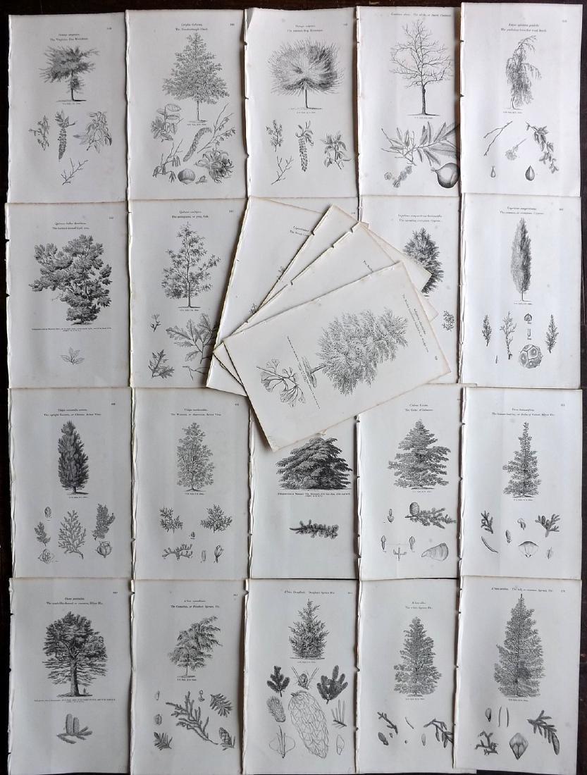 Loudon, John 1844 Lot of 24 Botanical Tree Prints
