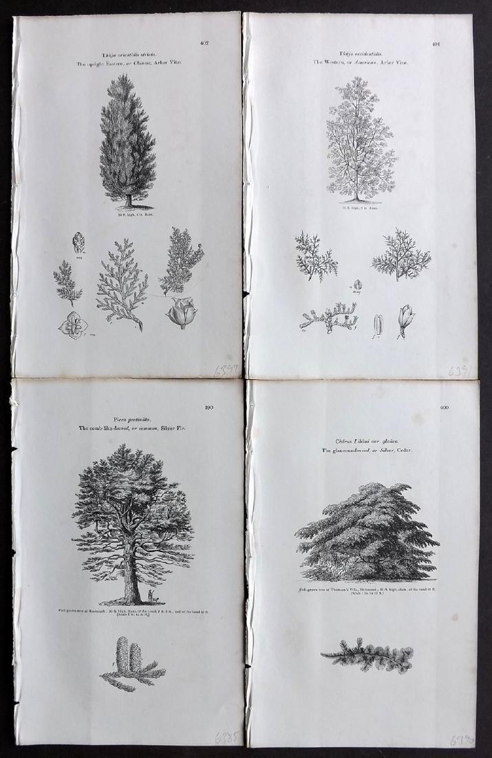 Loudon, John 1844 Lot of 24 Botanical Tree Prints - 2