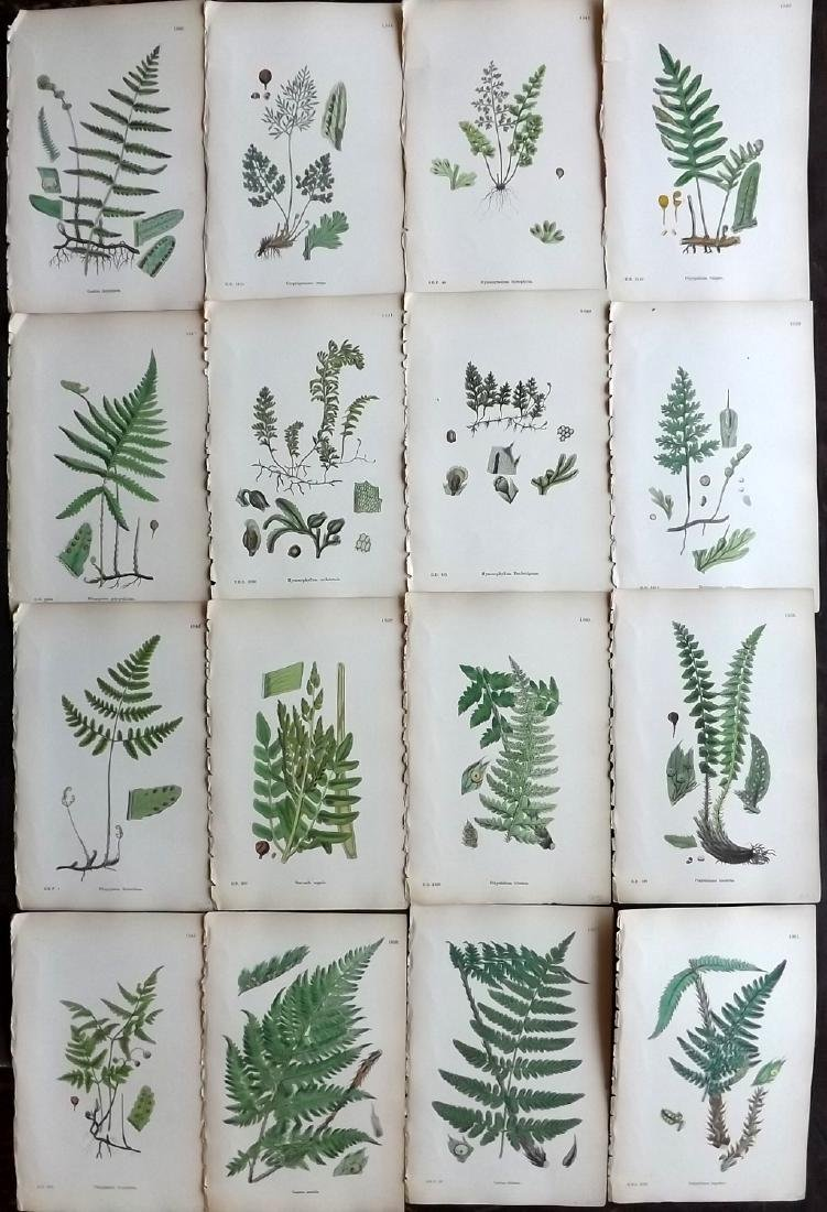 Sowerby, James 1883 Lot of 16 Hand Col Fern Prints