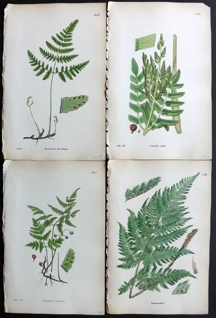 Sowerby, James 1883 Lot of 16 Hand Col Fern Prints - 2