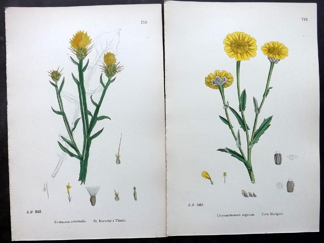 Sowerby, James 1883 Lot of 8 Hand Col Botanical Prints - 2