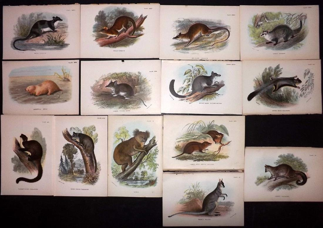 Lloyds's 1897 Lot 14 Prints. Australia Natves. Koala