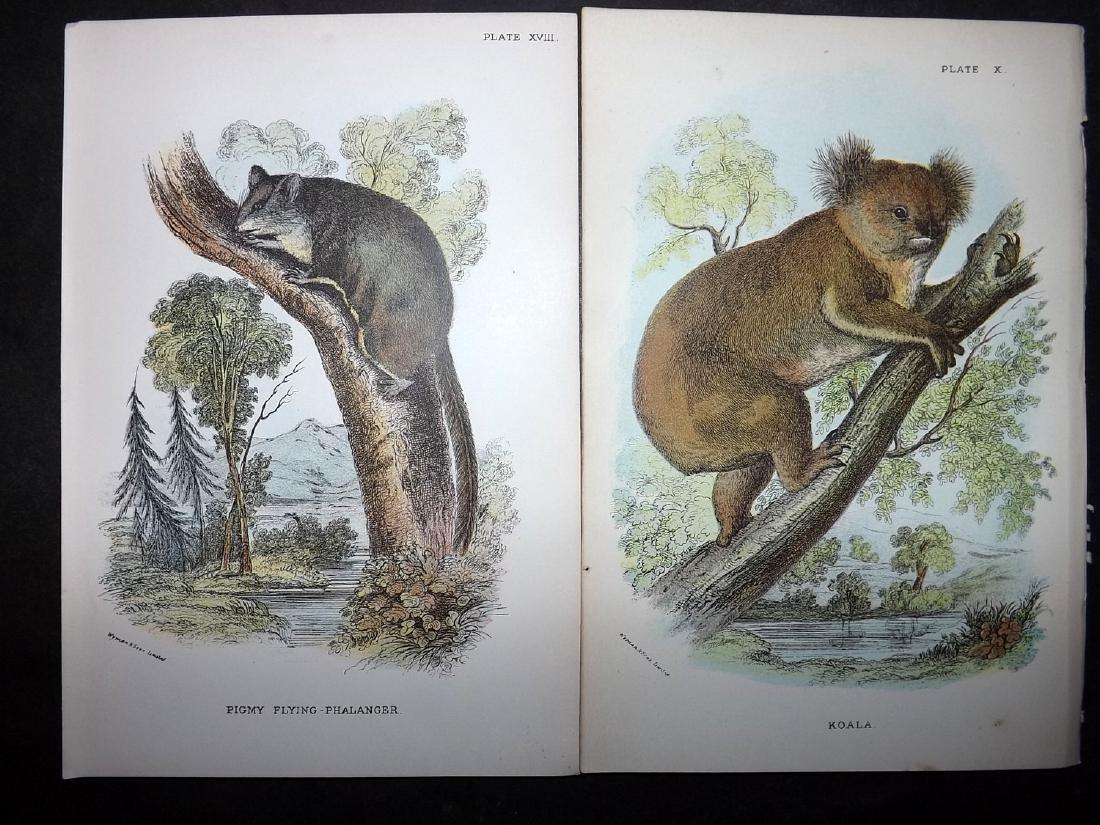 Lloyds's 1897 Lot 14 Prints. Australia Natves. Koala - 2