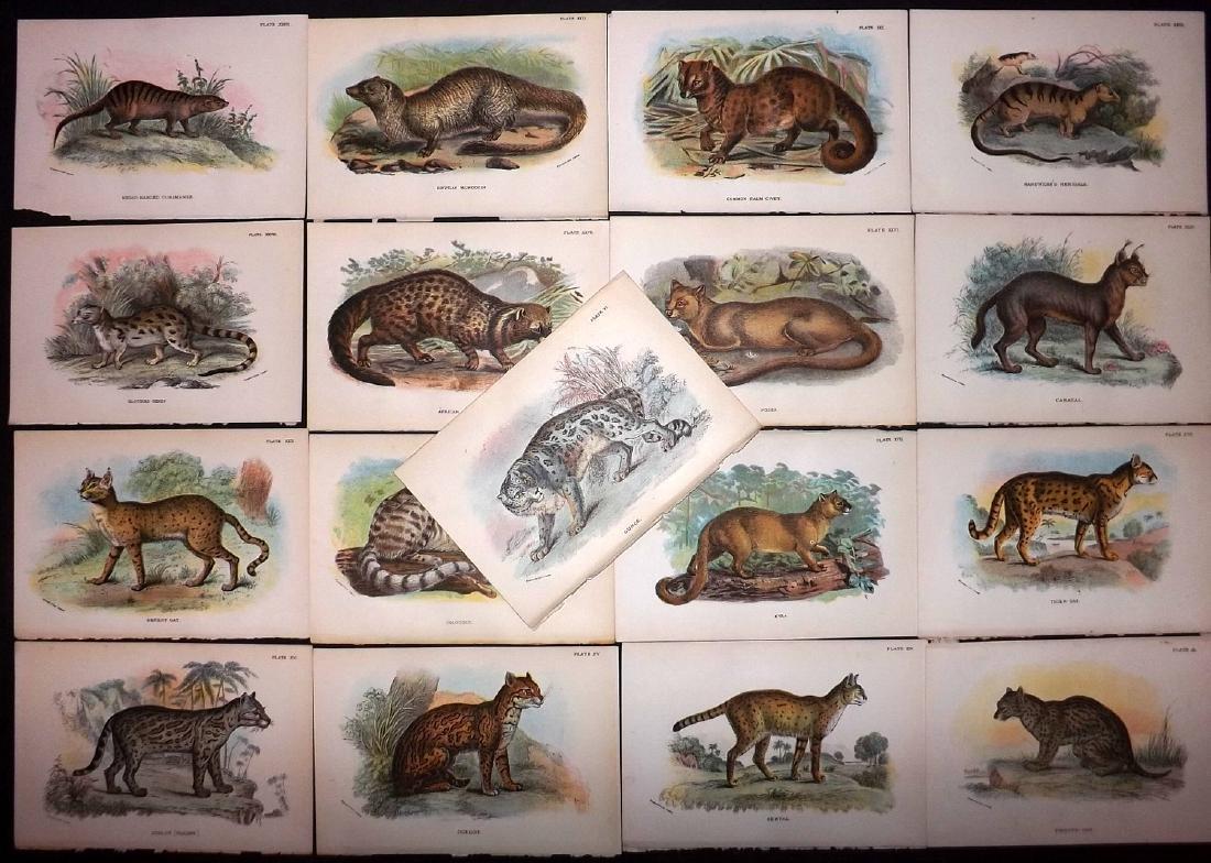 Lloyds's 1897 Lot of 13 Antique Prints. Big Cats etc