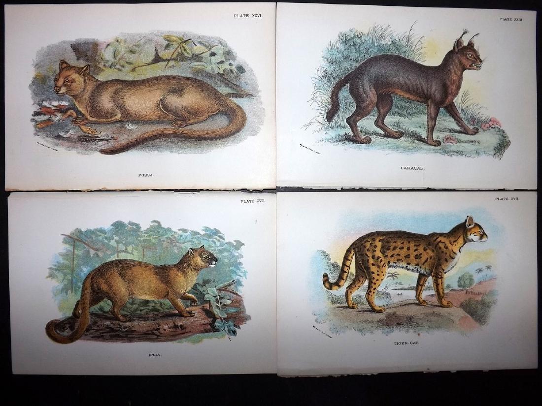 Lloyds's 1897 Lot of 13 Antique Prints. Big Cats etc - 2