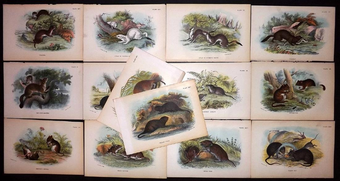 Lloyds's 1897 Lot of 13 Antique Prints. Rodents