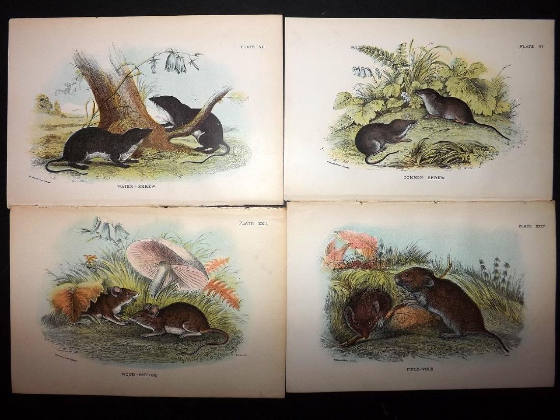 Lloyds's 1897 Lot of 13 Antique Prints. Rodents - 2