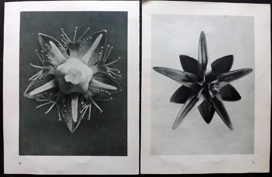 Blossfeldt, Karl 1936 Pair of Botanical Prints