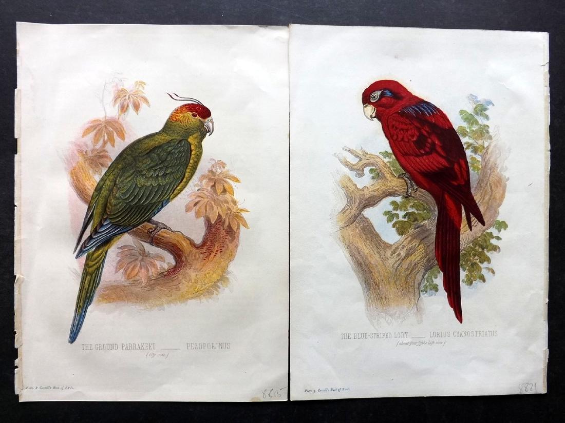 Jones, Thomas Rymer 1869 Pair of Parrot Bird Prints