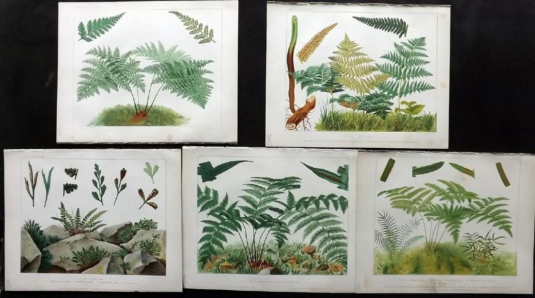 Britten, James 1881 Lot of 5 Antique Fern Prints