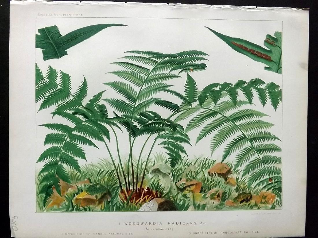 Britten, James 1881 Lot of 5 Antique Fern Prints - 2