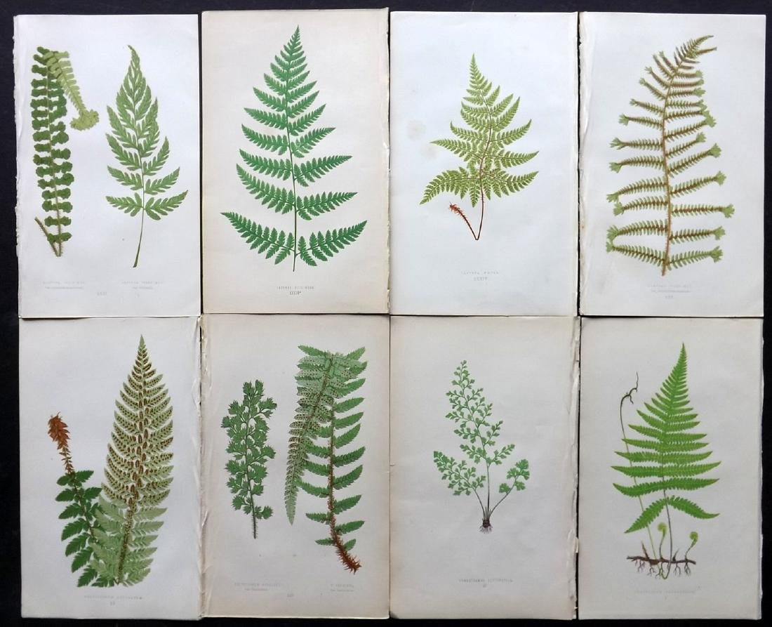 Lowe, Edward 1869 Lot of 8 Botanical Fern Prints