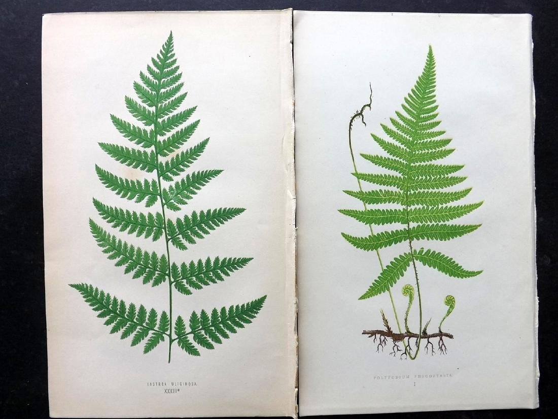 Lowe, Edward 1869 Lot of 8 Botanical Fern Prints - 2