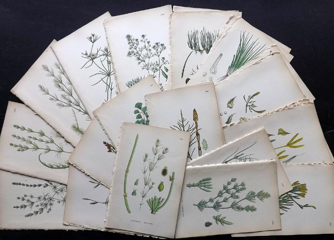 Sowerby, James 1883 Lot of 30 Hand Col Botanical Prints