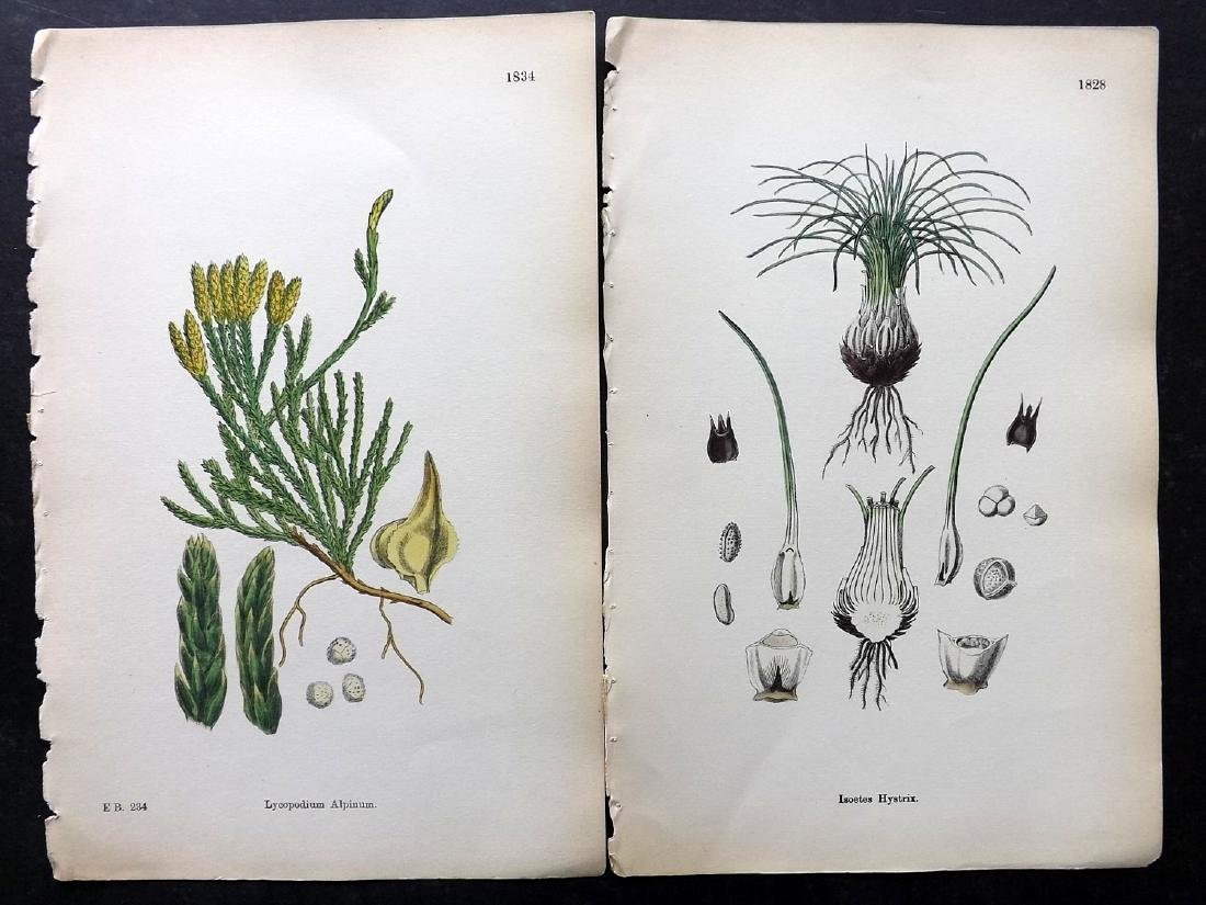 Sowerby, James 1883 Lot of 30 Hand Col Botanical Prints - 2