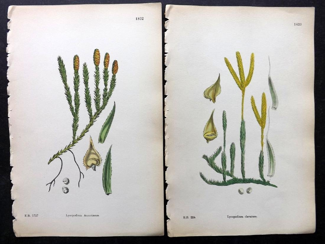 Sowerby, James 1883 Lot of 30 Hand Col Botanical Prints - 3