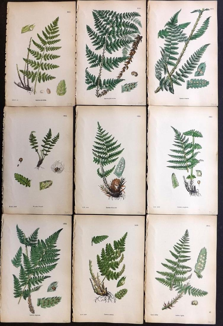 Sowerby, James 1883 Lot of 9 Hand Col Fern Prints