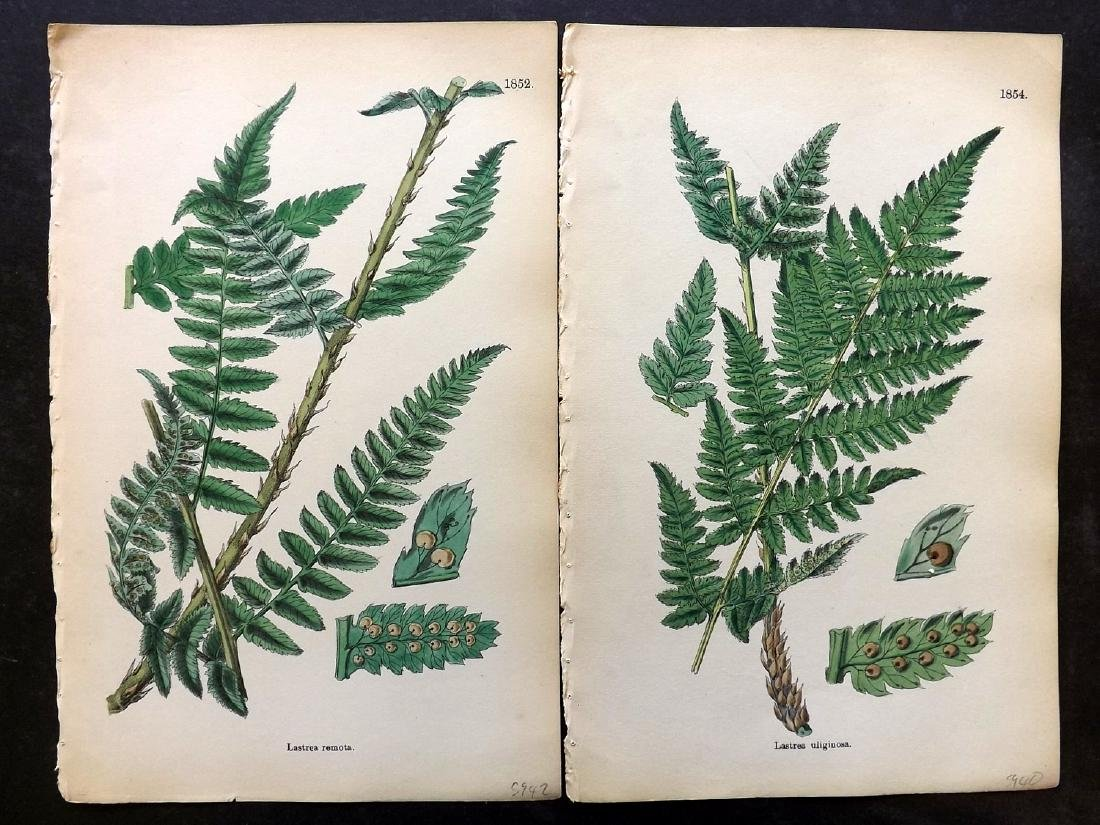 Sowerby, James 1883 Lot of 9 Hand Col Fern Prints - 2