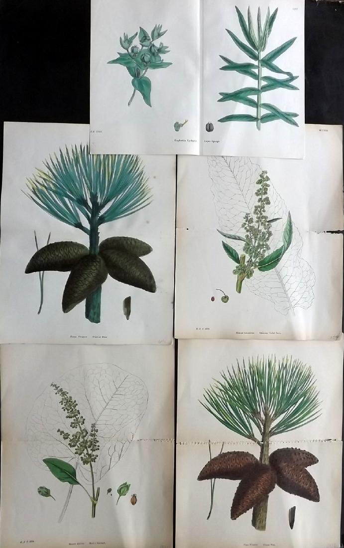 Sowerby, James 1883-1902 Lot of 5 Double HCol Prints