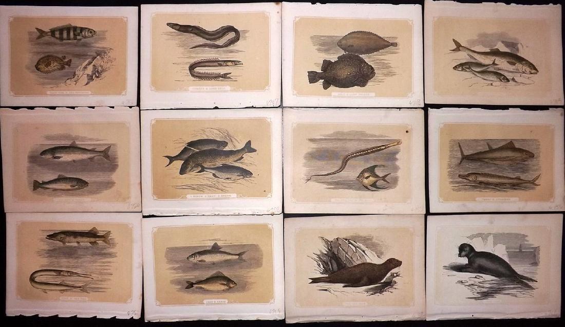 Bicknell, W. I. 1851 Lot of 12 Fish & Marine Prints