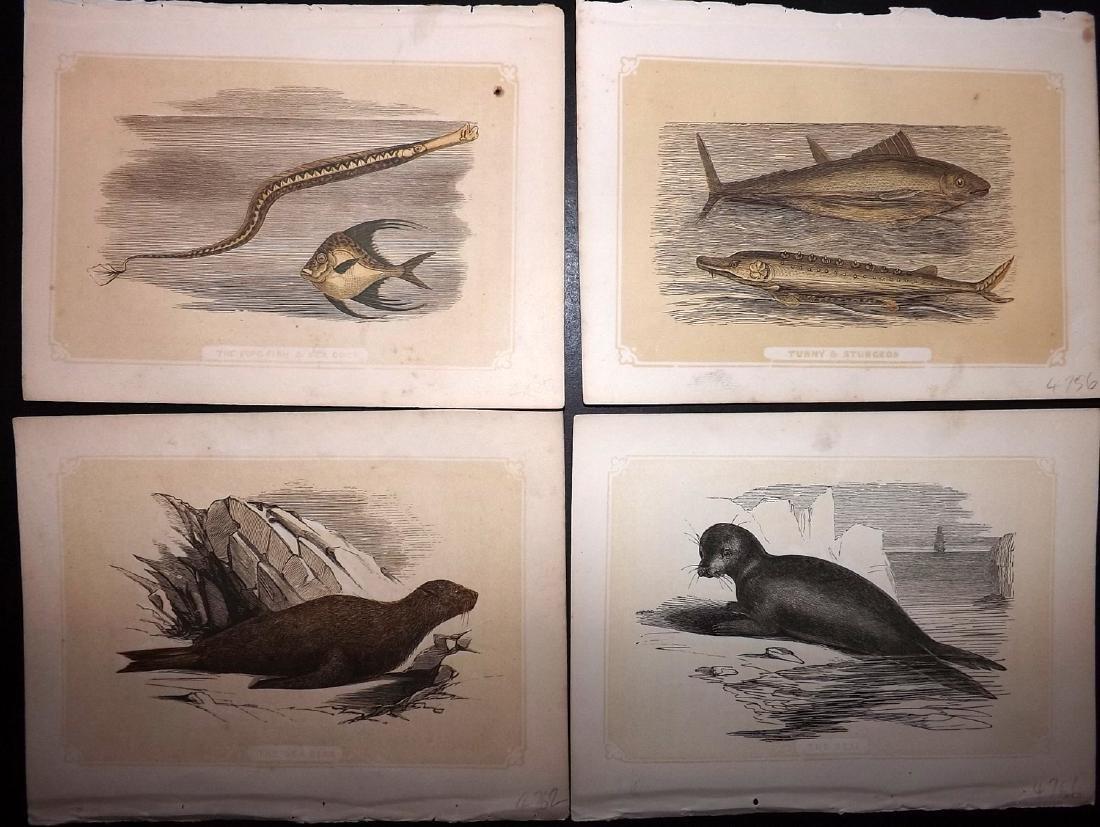 Bicknell, W. I. 1851 Lot of 12 Fish & Marine Prints - 2