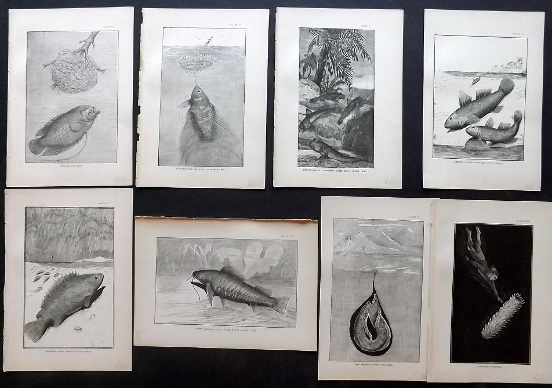 Holder, Charles Frederick 1885 Lot 8 Fish/Marine Prints