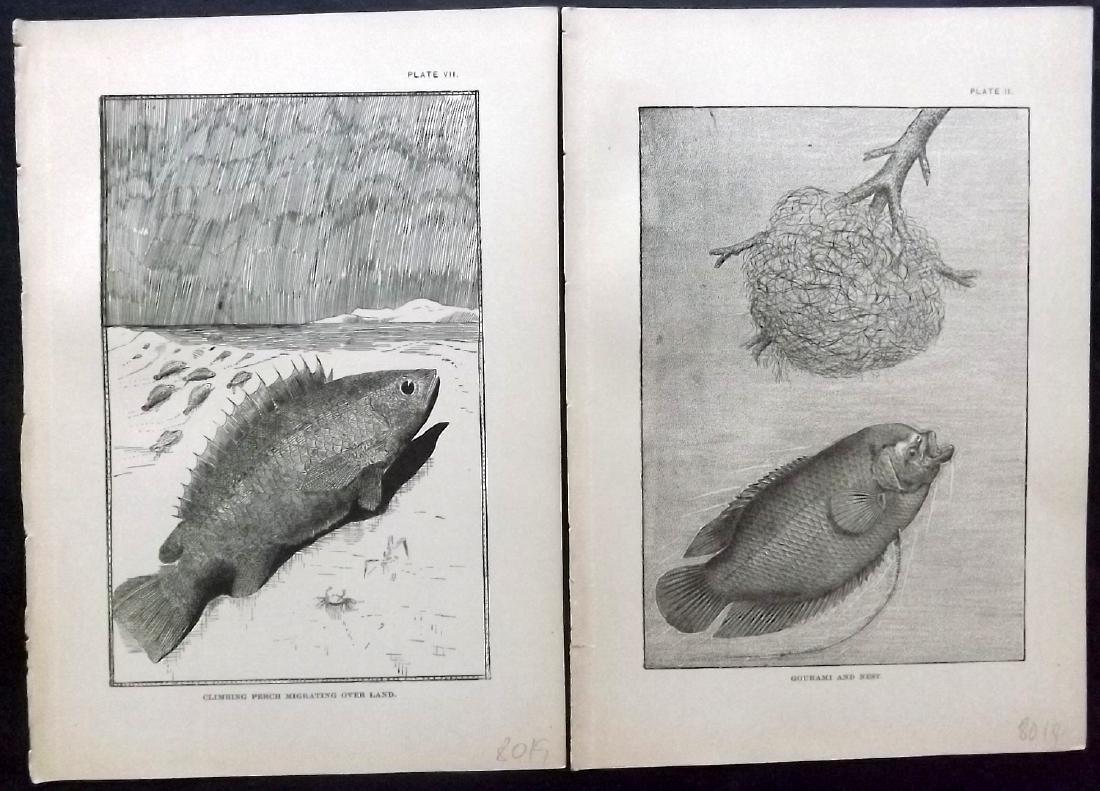Holder, Charles Frederick 1885 Lot 8 Fish/Marine Prints - 2