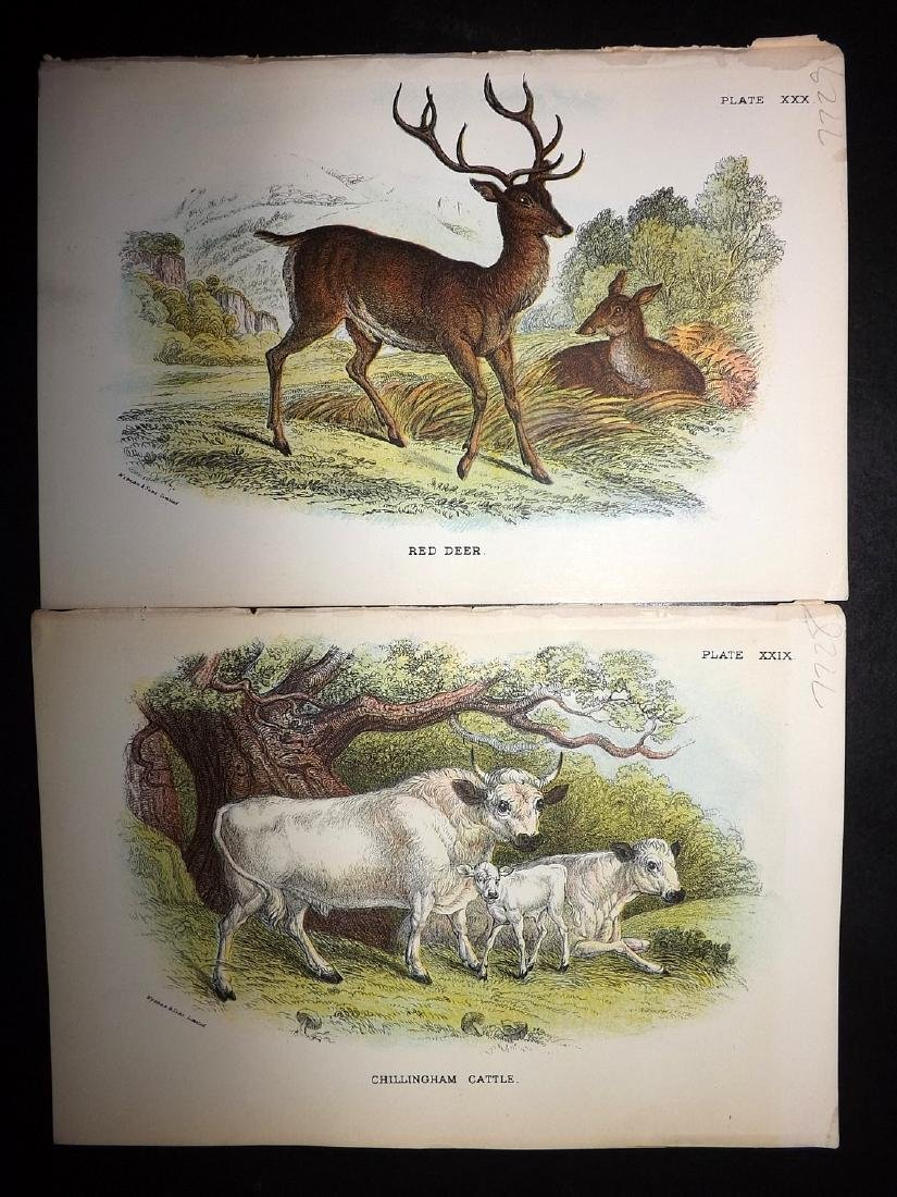 Lloyds's 1897 Lot of 12 Natural History Prints - 2
