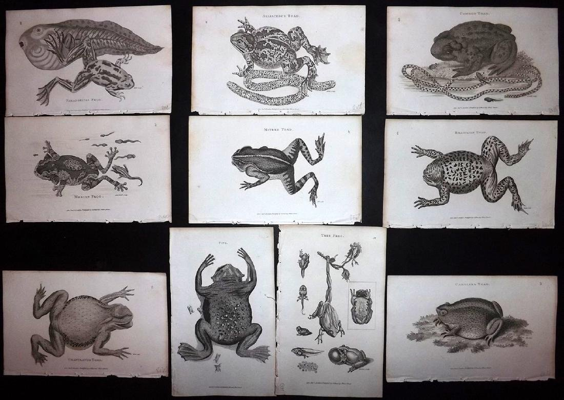 Shaw, George 1816 Lot of 12 Prints. Frogs & Toads