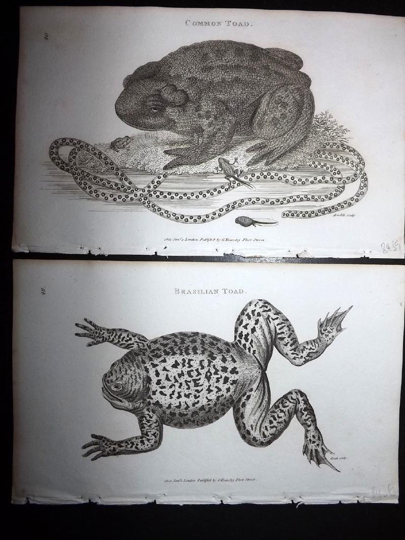 Shaw, George 1816 Lot of 12 Prints. Frogs & Toads - 2