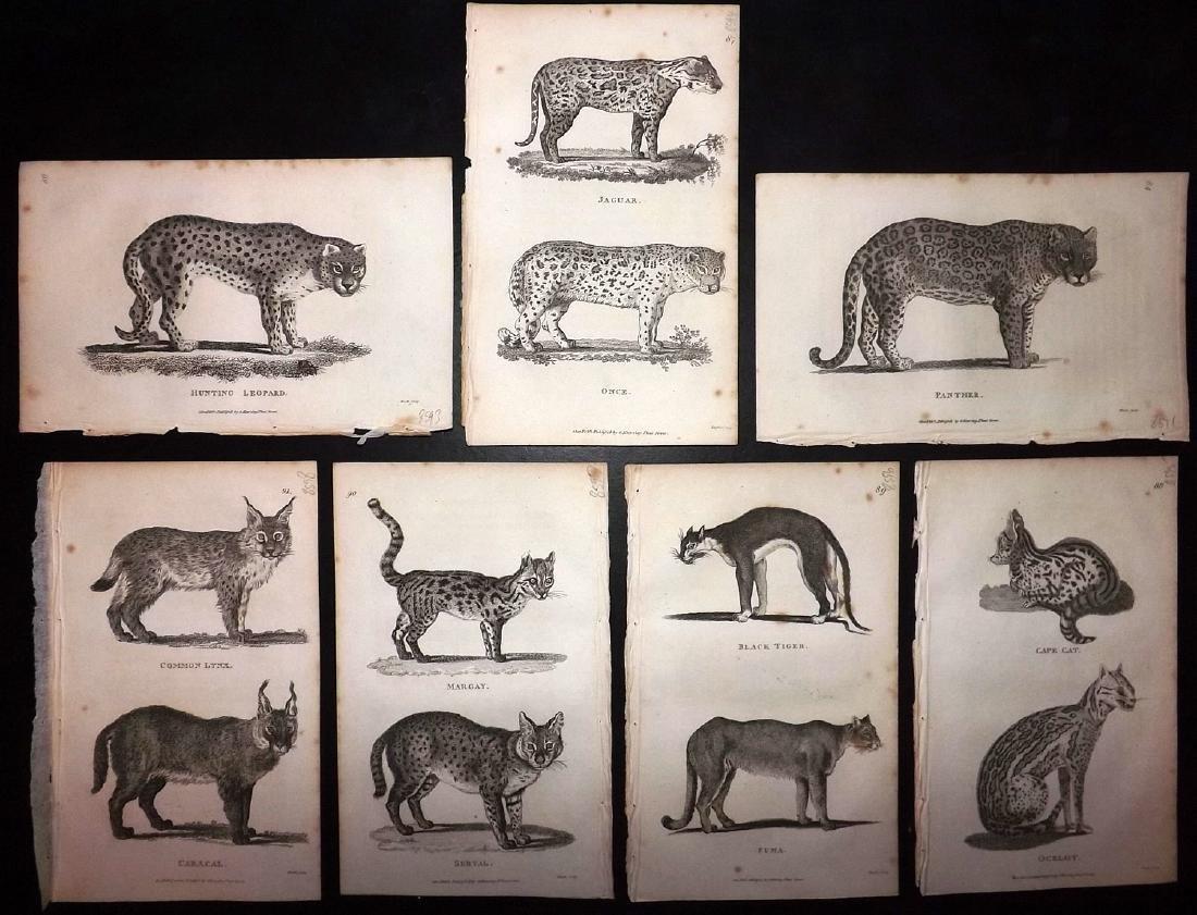 Shaw, George 1816 Lot of 7 Prints. Big Cats