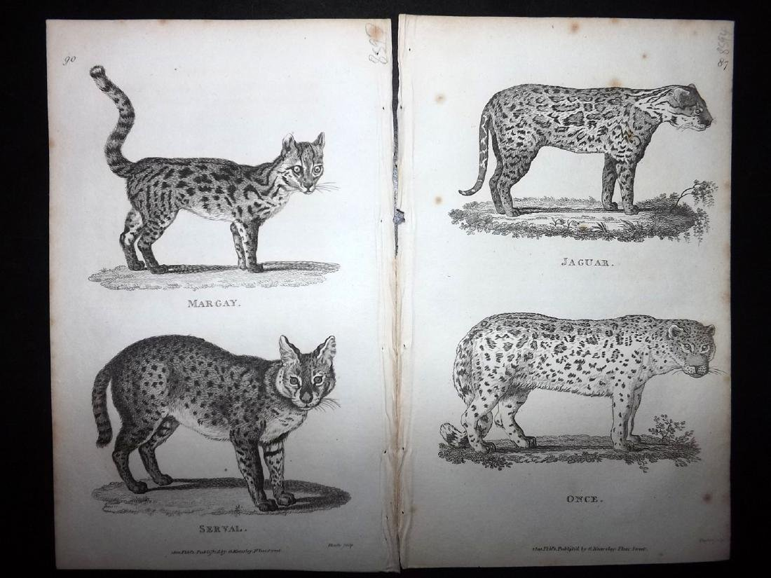 Shaw, George 1816 Lot of 7 Prints. Big Cats - 2