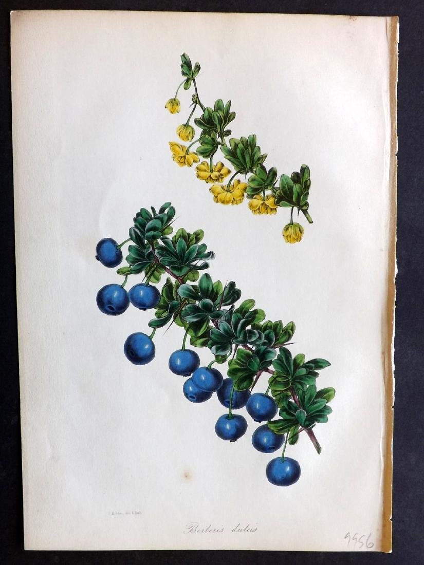 Paxton, Joseph 1842 Lot of 4 Hand Col Botanical Prints - 2