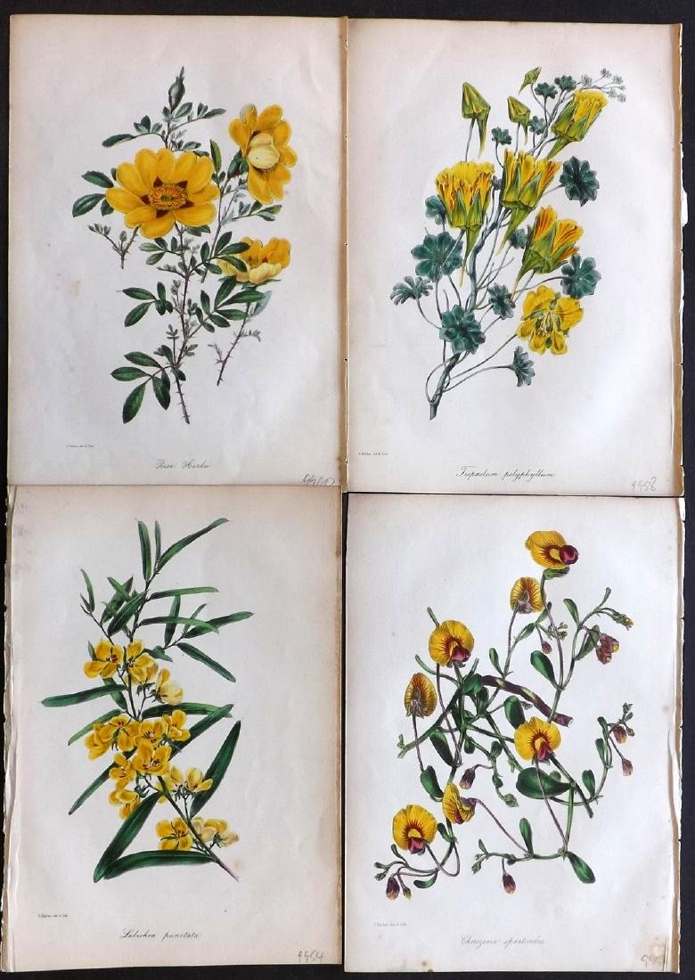 Paxton, Joseph 1842 Lot of 4 Hand Col Botanical Prints