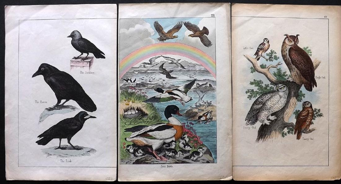White, Adam 1860 Lot of 3 Hand Col Bird Prints incl