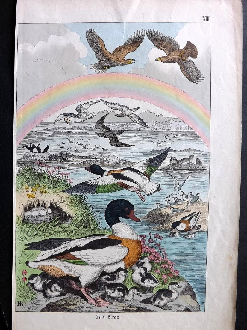 White, Adam 1860 Lot of 3 Hand Col Bird Prints incl - 2