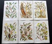 Wilson O  E 1880 Lot of 6 Larvaea  Botanical Prints