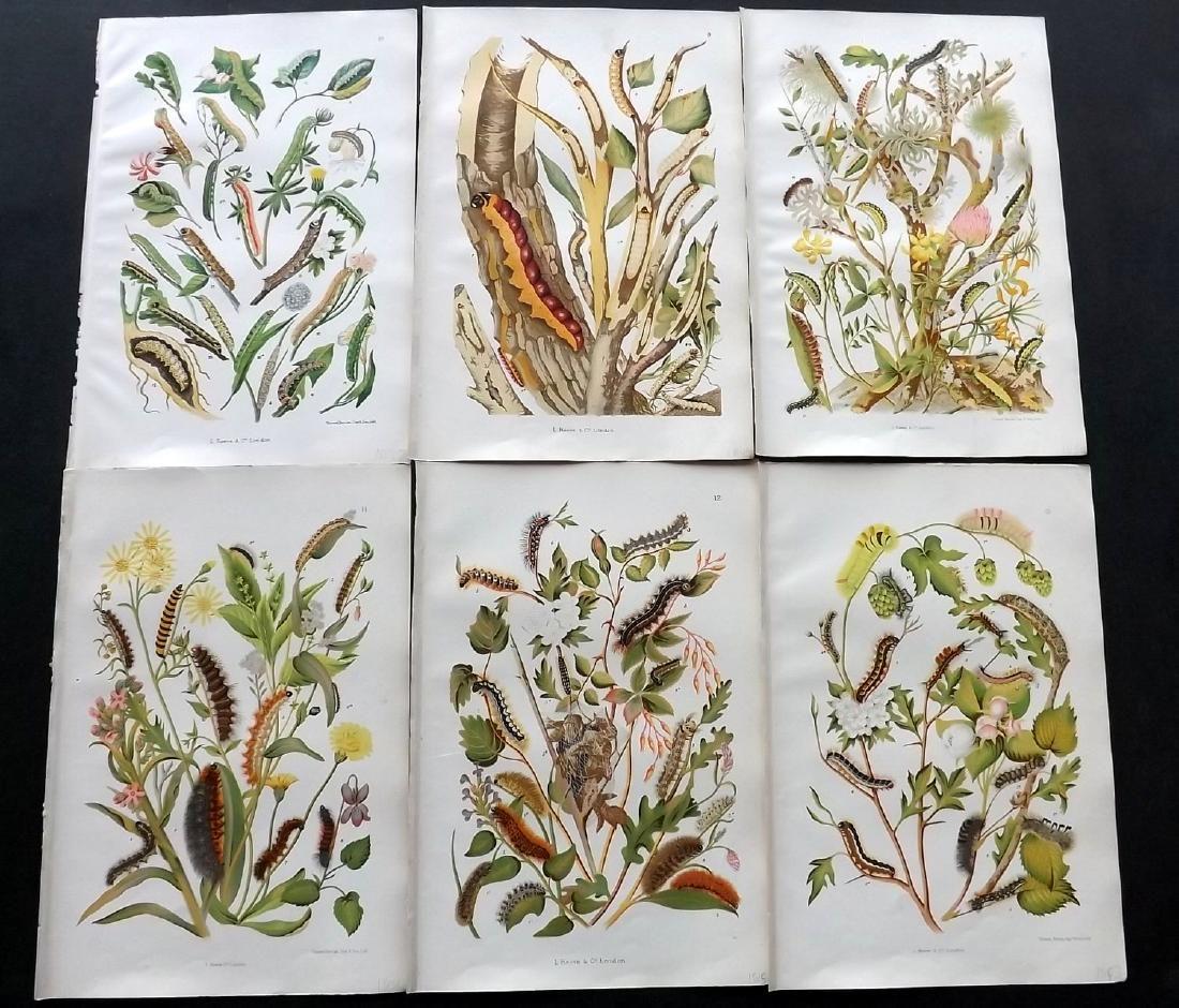Wilson, O & E 1880 Lot of 6 Larvaea & Botanical Prints