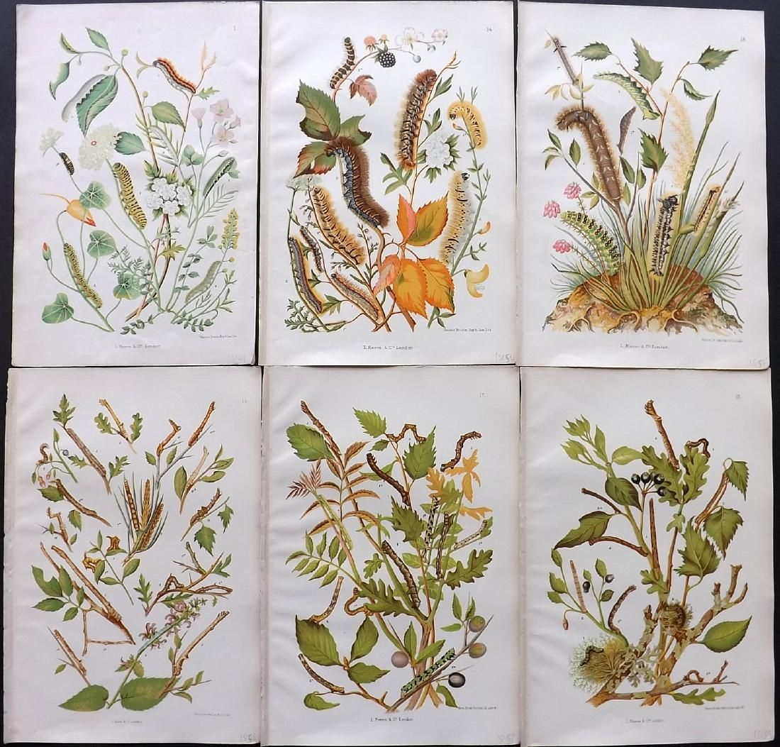 Wilson, O & E 1880 Lot of 6 Larvaea & Botanical Prints