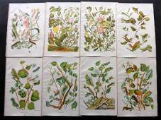 Wilson O  E 1880 Lot of 8 Larvaea  Botanical Prints