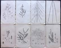 Kirk Thomas 1889 Lot of 8 New Zealand Botanical Prints