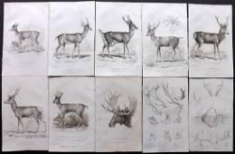 Cuvier, Baron C1830 Lot of 10 Prints. Deer