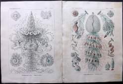 Haeckel, Ernst 1899 Pair Rare Folio Prints of Jellyfish